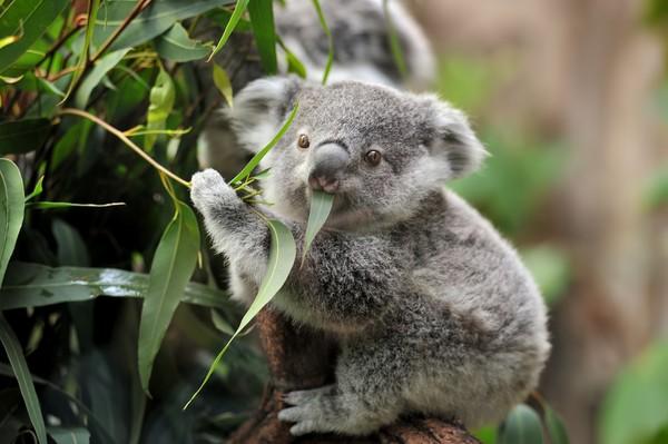 Salah satu spesies paling gampang mengantuk adalah koala. Hewan yang dilindungi ini suka bermalas-malasan dan tidur hingga 22 jam per hari lho. ( Getty Images/iStockphoto)