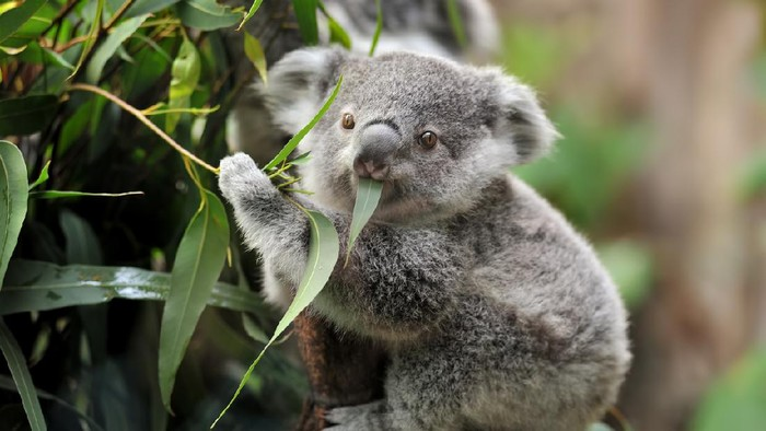 close-up of a young koala bear (Phascolarctos cinereus) on a tree eating eucalypt leaves.