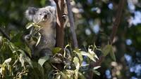 Eucalyptus dan Kayu Putih Sama Nggak Sih? Ini Penjelasan Kementan