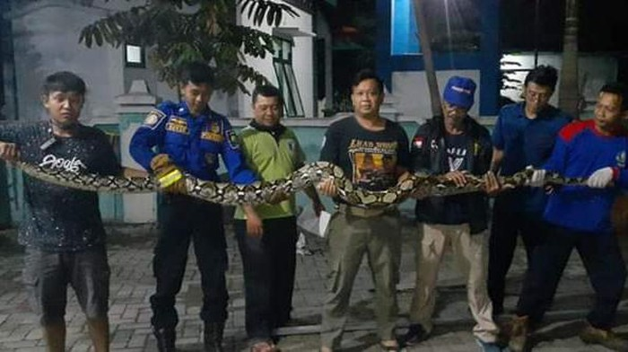 Penampakan ular piton yang diamankan warga Blora