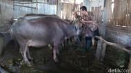 Pantau Hewan Kurban, Pemkab Kudus Temukan Kambing Sakit Scabies