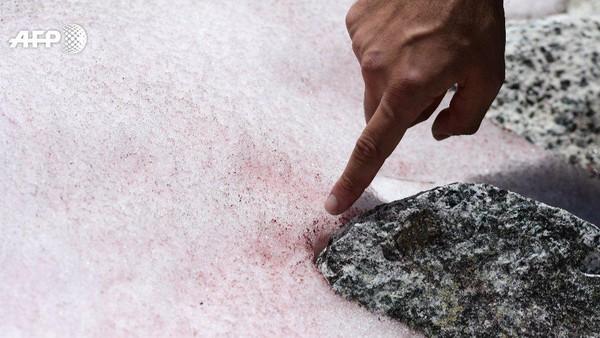 Perubahan warna salju itu pun disebut terjadi akibat algae pink yang bernama asli Ancylonema nordenskioeldii. Secara teknis memang tidak berbahaya, tapi bukan itu masalahnya (Miguel Medina/AFP)