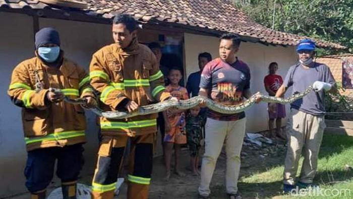 Kemunculan ular sanca kembang atau piton di permukiman bikin resah warga Blora, Jawa Tengah. Beberapa bulan terakhir sudah ada tujuh piton yang diamankan.