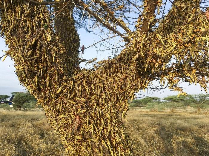 Kenya masih terus berjibaku mengatasi wabah belalang di kawasannya. Invasi jutaan belalang itu dikhawatirkan merambah ke sejumlah negara lain di kawasan Afrika.