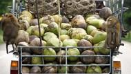 Diduga Eksploitasi Monyet, Kelapa Thailand Diboikot di Inggris
