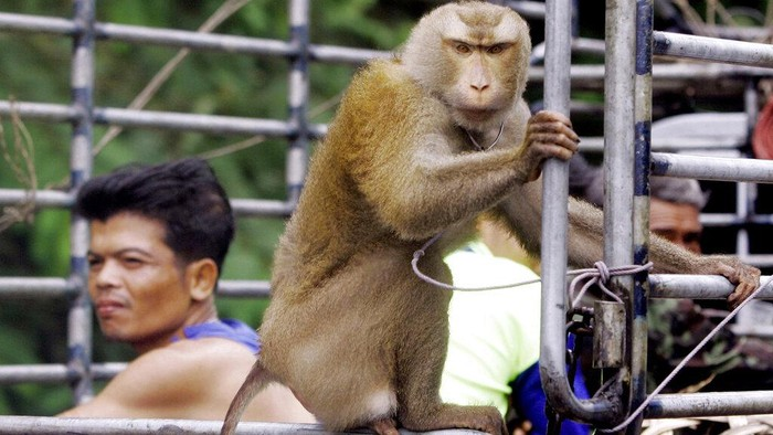 Supermarket di Inggris tarik produk kelapa Thailand karena dinilai eksploitasi monyet untuk petik buah kelapa. Kasus itu pun sebelumnya telah picu kontroversi.
