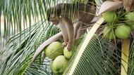 Kelapa Thailand yang Dipetik Monyet, Ditolak di Luar Negeri