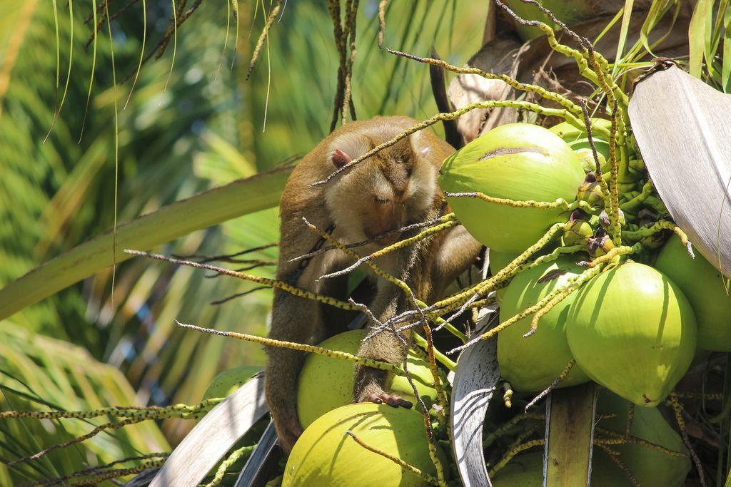 Kelapa Thailand yang Dipetik Monyet