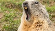 5 Fakta Daging Marmot yang Dikaitkan dengan Wabah Pes di China