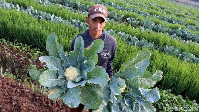 Permintaan brokoli putih kembali naik setelah Pembatasan Sosial Berskala Besar (PSBB) di Bandung selesai. Para petani pun bergembira.