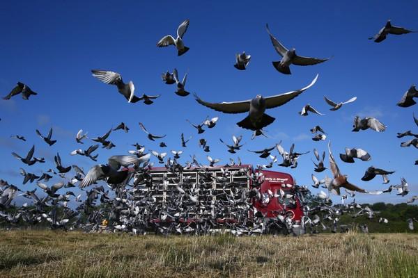 Sedikitnya ada 4.000 ekor merpati dilepas di kawasan utara Inggris untuk berlomba menempuh jarak 90 mil.