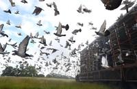 Burung merpati dikenal dengan bakatnya yang mampu kembalipulang setelah dilepas. Bagaimana burung-burung itu menemukan jalan pulang masih menjadi salah satu misteri di dunia.
