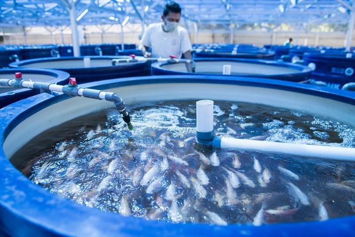 Pekerja merawat tangki budidaya ikan nila di Ndarufarm, Batujajar, Kabupaten Bandung Barat, Jawa Barat, Rabu (8/7/2020). Budidaya ikan, udang dan sayuran tersebut merupakan budidaya yang menggunakan sistem resirkulasi akuakultur atau Recirculation Aquaculture System (RAS) Aquaponik, dimana teknologi ini merupakan gabungan dari aquakultur dengan hidroponik untuk memaksimalkan fungsi air dan ruang sebagai media pemeliharaan. ANTARA FOTO/M Agung Rajasa/aww.