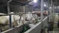 Jelang Idul Adha, Ini Protokol Kesehatan Bagi Pemotong Hewan Ternak