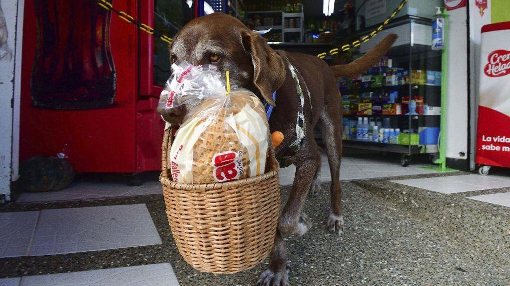 Wow! Anjing Ini Jadi Kurir Makanan saat Pandemi Corona