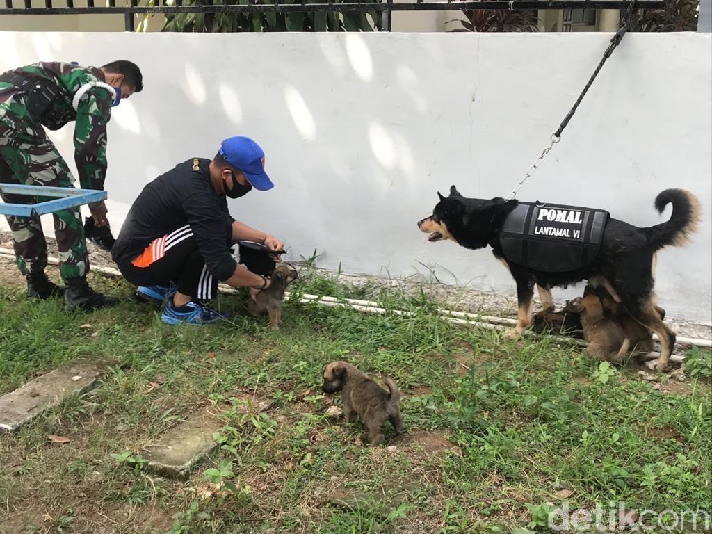 Anjing Belgian Malinois milik Densus POM Lantamal VI Makassar melahirkan 5 ekor anak (Ibnu Munsir-detikcom).