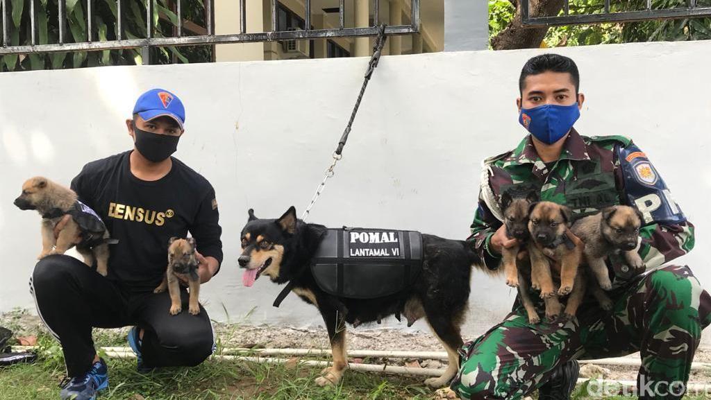 Langka! Anjing K9 Densus POM Lantamal VI Makassar Lahirkan 5 Anak