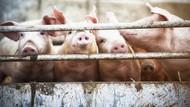 Babi Bisa Serap Oksigen dari Anus, Mungkin Manusia Juga