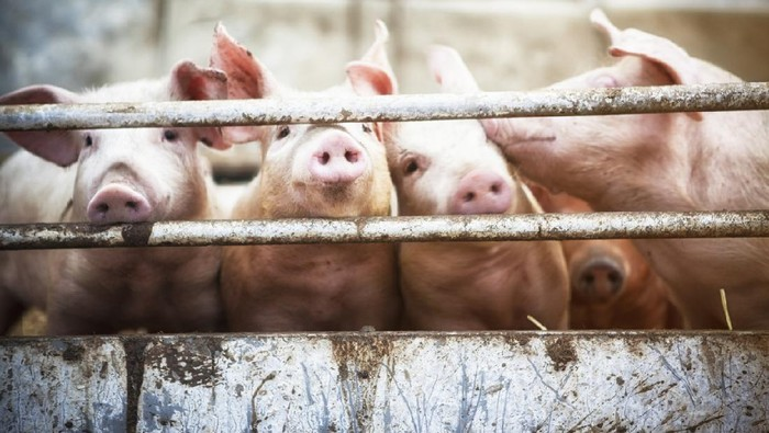close up of a pigs face on a truck, behind bars