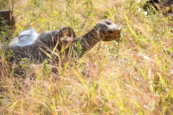 Sewaktu karantina, kura-kura dibersihkan dari parasit dan diberi microchip. Selama 6 bulan mereka akan dipantau langsung oleh petugas. (Parque Nacional Galápagos/Facebook)