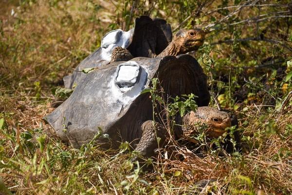 Di awal permulaan program karantina di pertengahan 1960, 15 ekor kura-kura ini telah menghasilkan 1.900 tukik hingga Januari tahun ini. Populasi mereka yang dulunya terancam, kini jumlahnya lebih dari 2.300 kura-kura. (Parque Nacional Galápagos/Facebook)