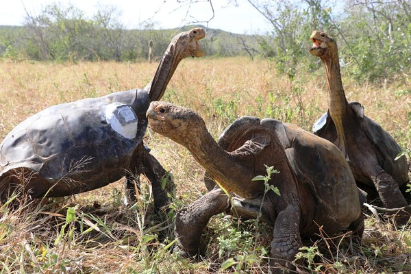 Enam dekade lalu, kura-kura raksasa Espanola di Taman Nasional Galapagos terancam punah. Hanya ada 15 ekor saja tersisa. Kemudian mereka pun masuk penangkaran selama 55 tahun untuk menyelamatkannya dari jurang kepunahan. (Parque Nacional Galápagos/Facebook)