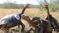 Potret Kura-kura Raksasa nan Mudik Setelah 55 Tahun