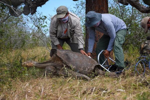 Taman Nasional Galapagos melepas kembali ke alam liar 15 ekor kura-kuraraksasa Espanola. (Parque Nacional Galápagos/Facebook)