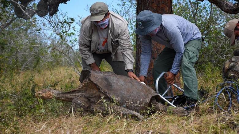kura-kura raksasa Espanola di Taman Nasional Galapagos
