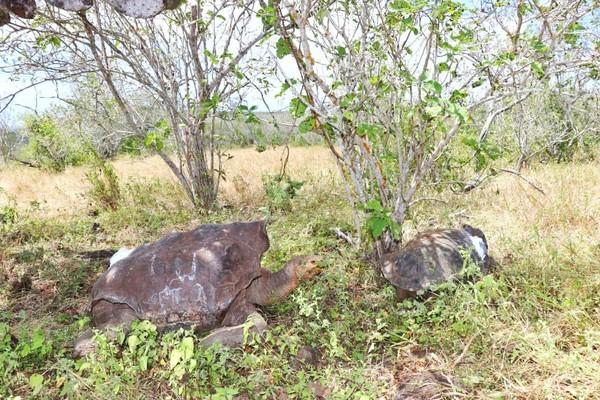 Adapun 15 ekor kura-kura ini terdiri dari 12 ekor betina dengan berat rata-rata 35 Kg dan jantan 3 ekor dengan berat lebih 54 kg. Setelah kura-kura ini dibebaskan nanti akan ada staff yaang terus mengawasi pergerakan mereka. (Parque Nacional Galápagos/Facebook)