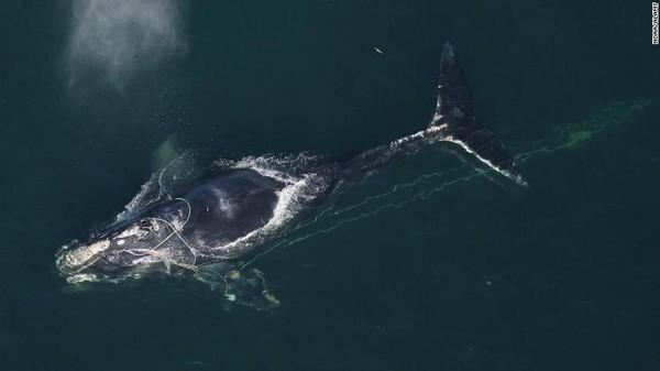 Di tempat lain, hanya tersisa kurang dari 250 paus Atlantik Utara dewasa sekarang. Naiknya suhu laut terkait dengan perubahan iklim mungkin telah mendorong pasokan makanan mereka, krill, terus ke utara. Paus juga kesulitan menangkap makanan dan telah menyebabkan populasinya turun sekitar 15% sejak 2011.