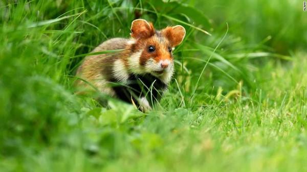 Pada 9 Juli, IUCN merilis daftar merah spesies terancam punah terbaru, yang mencakup perubahan nasib dari 120.000 spesies yang dipantau. Lebih dari 32.000 spesies saat ini terancam punah. Hamster Eropa ini jadi salah satunya.