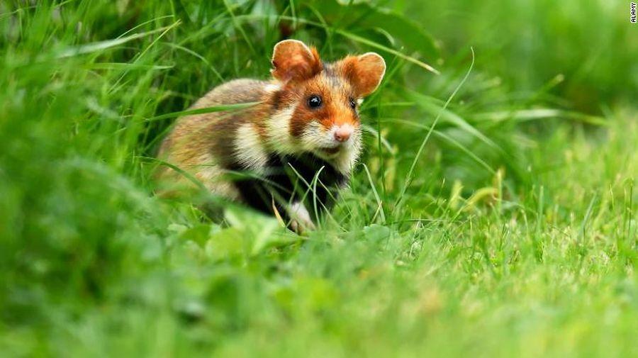 lemur, ibex, paus, hamster