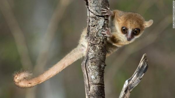 Situasi spesies lemur juga memburuk. Dari 107 spesies lemur yang masih hidup, yang semuanya asli Madagaskar, sejumlah 103 spesies dianggap terancam dan 33 di antaranya terancam punah. Di antara yang terancam punah itu ada lemur tikus Madame Berthe, primata terkecil di dunia dengan panjang sekitar sembilan sentimeter.