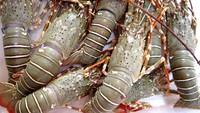 Omzet Bakso Lobster Rp 50 Juta hingga 5 Daerah Penghasil Lobster Terbaik
