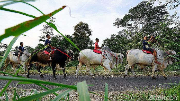 Sebuah kampung di Boyolali viral gegara aksi konvoi warga tunggangi sapi raksasa. Warga di sana diketahui biasa menggembala sapi keliling kampung tiap minggu.
