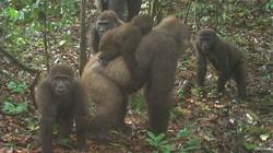 Gorila Terlangka Sedunia Terekam Ditemukan Bersama Bayinya