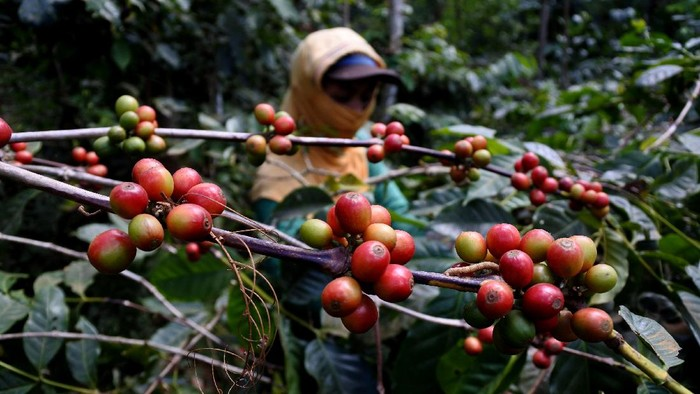 Petani menjemur kopi arabika di Desa Curahtatal, Arjasa, Situbondo, Jawa Timur, Jumat (10/7/2020). Sejumlah petani mengeluhkan harga kopi arabika gelondong merah turun dari Rp13.000 menjadi Rp7.000 per kilogram akibat permintaan pabrik dan ekspor menurun sejak pandemi COVID-19. ANTARA FOTO/Seno/pras.
