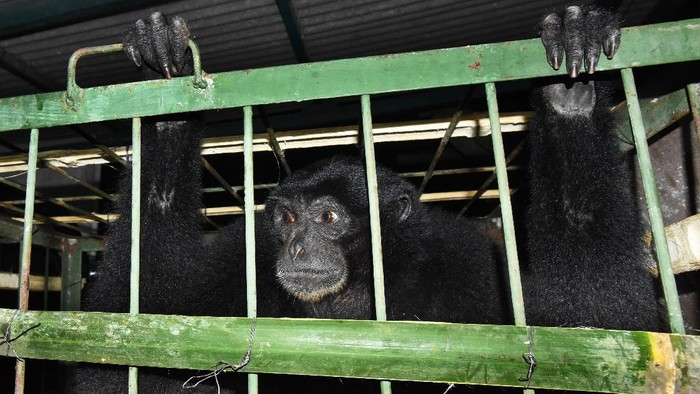 Seekor siamang (Symphalangus syndactylus) diamankan petugas di Kantor BKSDA (Balai Konservasi Sumber Daya Alam) Banten, di Serang, Kamis (9/7/2020) malam. Petugas menerima satwa dilindungi berusia 1 tahun tersebut secara sukarela dari warga Kabupaten Lebak untuk direhabilitasi dan dilepasliarkan kembali ke habitatnya. ANTARA FOTO/Asep Fathulrahman/pras.