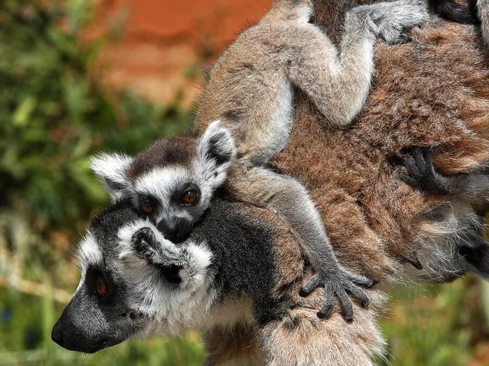 The International Union for the Conservative Nature perbarui daftar hewan yang terancam punah. Lemur hingga Paus Sikat Atlantik Utara masuk daftar merah itu.