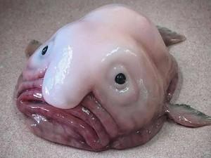 Fakta Ikan Blobfish, Ikan Jelek yang Rasa Dagingnya Tawar
