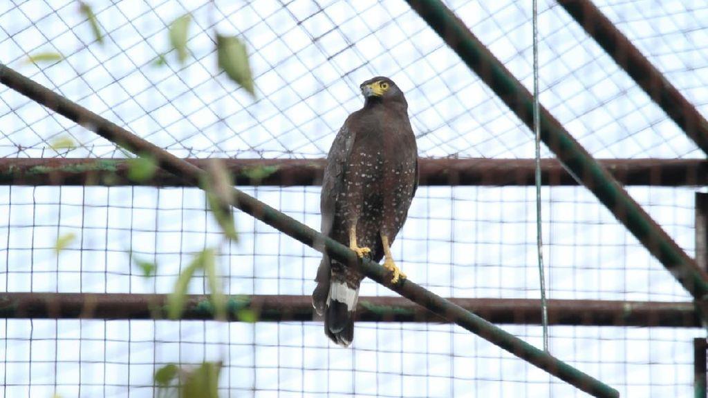 BKSDA Yogya Lepas Liarkan 4 Burung Pemangsa