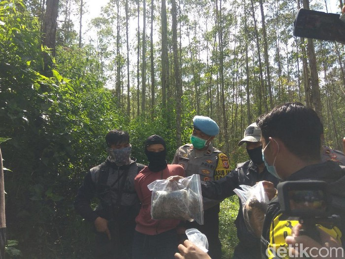 Polisi ungkap ladang ganja satu hektar di Bandung