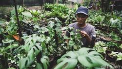 Kenalkan Janda Bolong, Tanaman Sultan Senilai Ratusan Juta