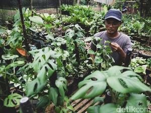 Manfaat Menanam dan Budidaya Tanaman Hias Monstera, Populer untuk Pecinta Kebun