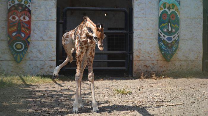 Seekor bayi jerapah bernama Kindi lahir secara normal di kebun binatang di Lamongan. Kindi merupakan anak kelima dari pasangan indukan Sandra dan William.