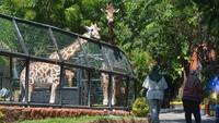 Tak sedikit pengunjung yang datang ke kebun binatang Maharani penasaran dengan tingkah lucu Kindi si bayi jerapah tersebut. Seperti diketahui, Maharani Zoo Paciran yang berada di Kebun Binatang Lamongan, Jawa Timur, ini telah kembali dibuka untuk umum.
