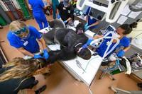 Sejak mendapatkan perawatan, para petugas kebun binatang pun memperketat pengawasan gorila hingga dia pulih. Shango telah kembali ke kawasan gorila. (Zoo Miami)