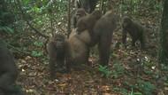 Gorila Langka Ini Ditemukan Sambil Gendong Bayi Lho