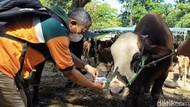 Hewan Kurban di Surabaya yang Lolos Pemeriksaan Kesehatan Diberi Gelang Stiker